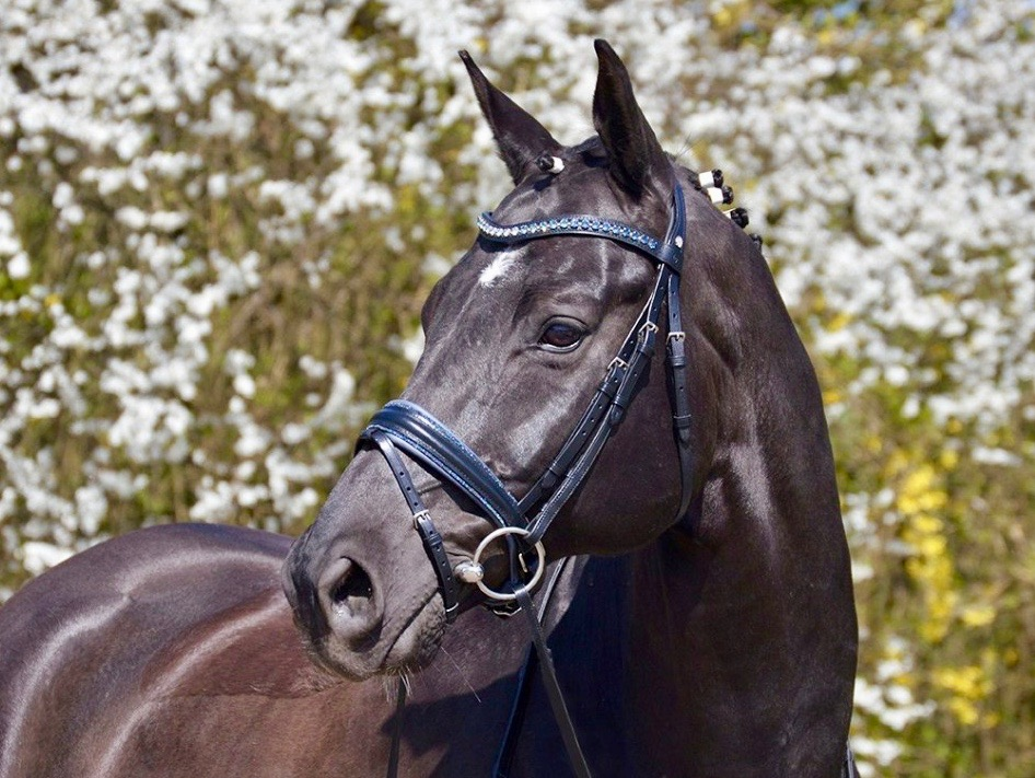 OS Comfort XS Snaffle Bridle - Custom