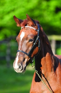 Catago Leather Foal Show Halter